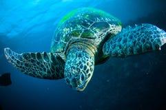 Sea turtle swimming bunaken sulawesi indonesia mydas chelonia underwater Stock Photos