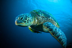 Sea turtle swimming bunaken sulawesi indonesia mydas chelonia underwater Royalty Free Stock Photo