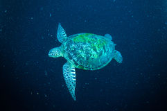 Sea turtle swimming bunaken sulawesi indonesia mydas chelonia underwater Stock Images