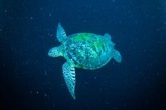 Sea turtle swimming bunaken sulawesi indonesia mydas chelonia underwater Stock Images