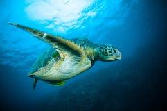 Sea turtle swimming bunaken sulawesi indonesia mydas chelonia underwater Stock Image