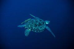 Sea turtle swimming bunaken sulawesi indonesia mydas chelonia underwater photo Stock Photos