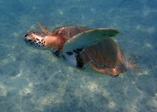 Sea Turtle swimming in the clear blue caribbean sea stock image