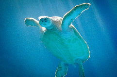 Sea Turtle swimming in Curacao Stock Photos