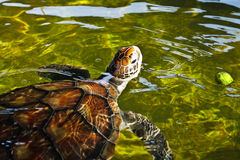 Sea turtle swimming in farm pond Stock Photo