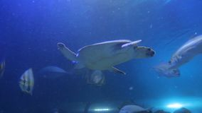 Sea turtle swimming with fish. The sea turtle swimming with fish stock footage