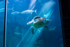 Sea turtle swimming with fish in tank Royalty Free Stock Photos