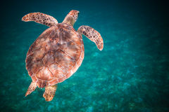 Sea turtle swimming in harbor of St. John, Virgin Islands. Top view of sea turtle swimming in ocean stock photography
