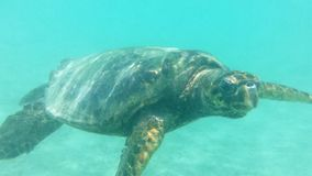 Sea turtle. Swimming sea turtle in Honduras stock photography