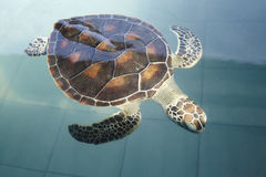 Sea Turtle. Swimming inside a pond Royalty Free Stock Images