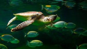 Sea turtle swimming in a museum aquarium. Sea turtle swimming in  museum aquarium Royalty Free Stock Images