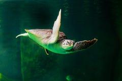 Sea turtle swimming in a museum aquarium. Sea turtle swimming in  museum aquarium Royalty Free Stock Photography