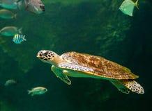 Sea turtle swimming in museum aquarium. Sea turtle swimming in a museum aquarium Royalty Free Stock Image