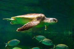 Sea turtle swimming in museum aquarium. Sea turtle swimming in a museum aquarium Royalty Free Stock Images