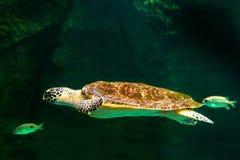 Sea turtle swimming in museum aquarium. Sea turtle swimming in a museum aquarium Stock Image