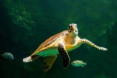 Sea turtle swimming in a museum aquarium. Sea turtle swimming in  museum aquarium Stock Images