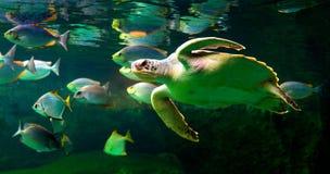 Sea turtle swimming in  museum aquarium. Sea turtle swimming in a museum aquarium Royalty Free Stock Photography