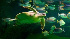 Sea turtle swimming in  museum aquarium. Sea turtle swimming in a museum aquarium Stock Images