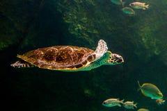 Sea turtle swimming in museum aquarium.. Sea turtle swimming in a museum aquarium Royalty Free Stock Photos