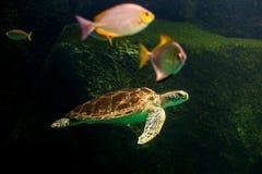 Sea turtle swimming in  museum aquarium. Sea turtle swimming in a museum aquarium Stock Photography