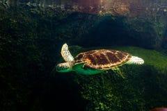 Sea turtle swimming in  museum aquarium. Sea turtle swimming in a museum aquarium Royalty Free Stock Photos