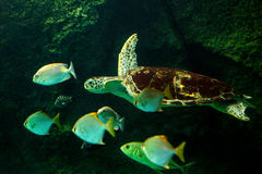 Sea turtle swimming in  museum aquarium. Sea turtle swimming in a museum aquarium Royalty Free Stock Photo