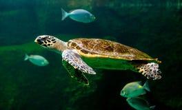 Sea turtle swimming in a museum aquarium. Green sea turtle swimming in a museum aquarium Stock Photo