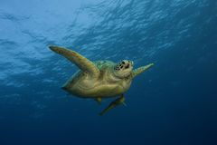 Sea turtle swimming in ocean. A sea turtle seen swimming underwater in the blue ocean. It is swimming from left to right, and a small fish is visible underneath Royalty Free Stock Image