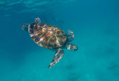 Sea Turtle swimming in the ocean Stock Photos