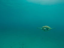 Sea Turtle swimming in the ocean Stock Photography
