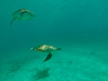 Sea Turtle swimming in the ocean Stock Photo