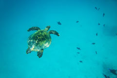 Sea turtle swimming in the ocean Royalty Free Stock Image