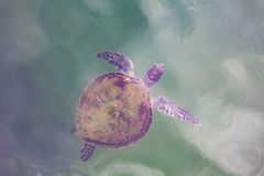 Sea turtle swimming in the ocean. Sea turtle swimming in the ocean - top view royalty free stock images