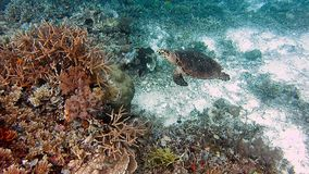 Sea turtle swimming over coral reef. Hawksbill Turtle.  stock video footage