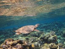 Sea turtle swimming over the corals Royalty Free Stock Photos