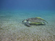 Sea turtle swimming over the sea bottom Stock Photo