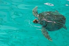 Sea turtle . Royalty Free Stock Photos