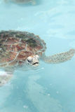 Sea Turtle swimming in the pool Stock Images