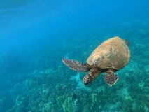Sea turtle swimming by the reef. And the beach in Hawaii stock photos