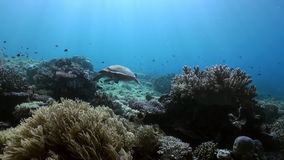 Sea turtle is swimming on reef in search of food stock footage