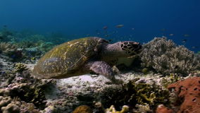 Sea turtle is swimming on reef in search of food. Sea turtle is swimming on the reef in search of food. Amazing, beautiful underwater world Bali Indonesia and stock footage