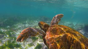 Sea turtle swimming in rock reef of galapagos. Underwater scene, green sea turtle swimming in the waters of galapagos islands. Full hd slow motion footage stock video footage