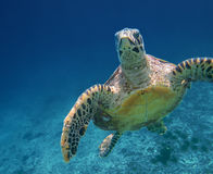 Sea Turtle swimming in Seychelles sea Stock Images