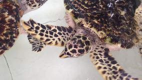 Sea turtle swimming. The sea turtle swimming in the small tank stock video