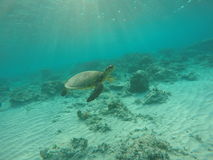 Sea turtle swimming through sun ray Royalty Free Stock Photos