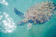 Sea turtle swimming. Top view of Sea turtle swim near ocean skin Stock Photos