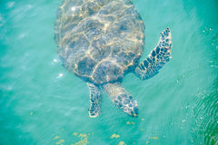 Sea turtle swimming. Top view of Sea turtle swim near ocean skin Royalty Free Stock Photos