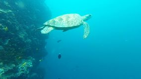Sea turtle swimming towards my camera. And join with companion turtle stock video footage
