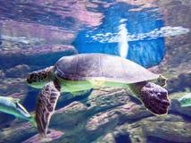 Sea turtle. Swimming turtles sea stock photos