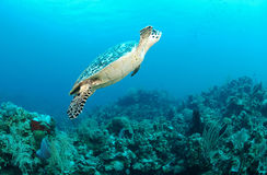 Sea turtle swimming underwater. A large sea turtle or tortoise swimming underwater over a coral reef. Family: Testudines royalty free stock image